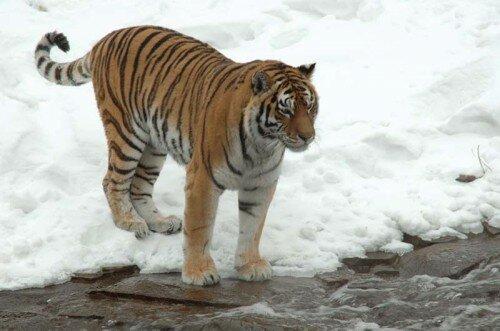 Конфликтную тигрицу ловят в одном из поселков Хабаровского края