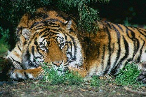 В России создан фонд по охране амурских тигров (видео)