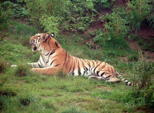 Шведские зоопарки помогут сохранить популяцию амурских тигров