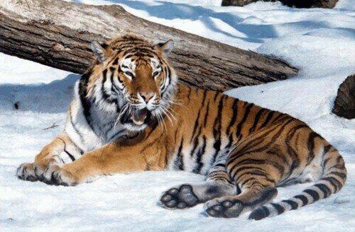У домашних кошек с тиграми одинаковая ДНК