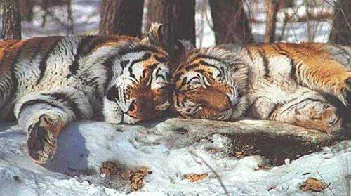 В Приморье создан Парк Тигров