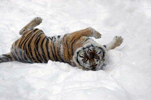 Тигров и леопардов защитят