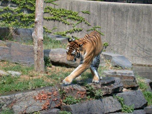 Тигры путешествуют для обмена генами