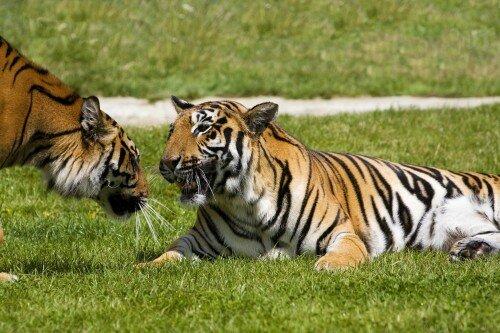 Индийских тигров истребляют пестицидами