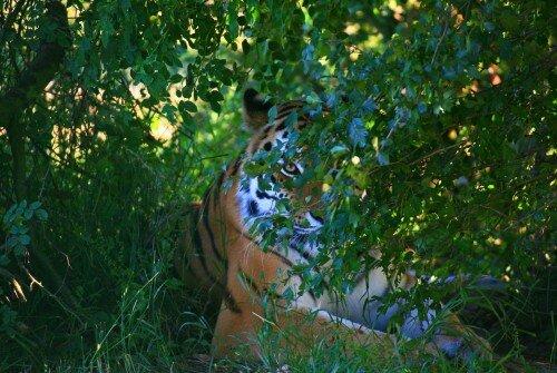 Сплошной учет популяции амурского тигра на территории России проведет Минприроды РФ