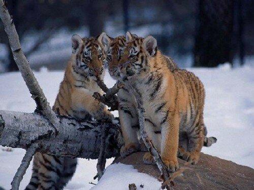 В Приморье тигриный центр заполнен до отказа