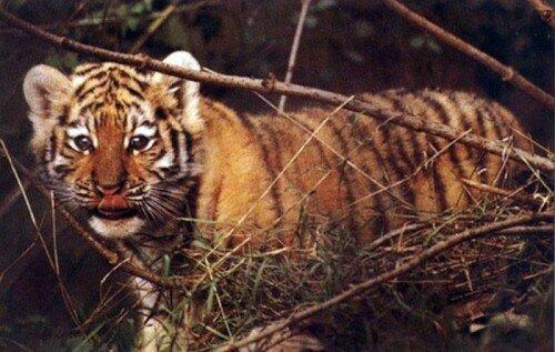 В Приморском крае спасли тигренка-сироту