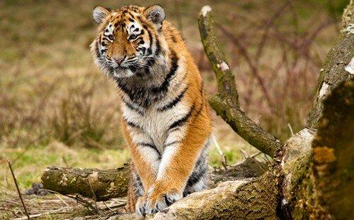 Истощенный тигренок вышел к зимовью охотников в Приморье