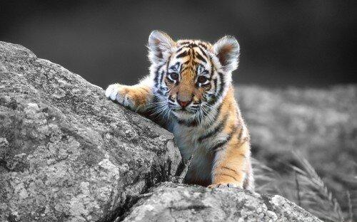 Бродячий тигренок отловлен в Приморье