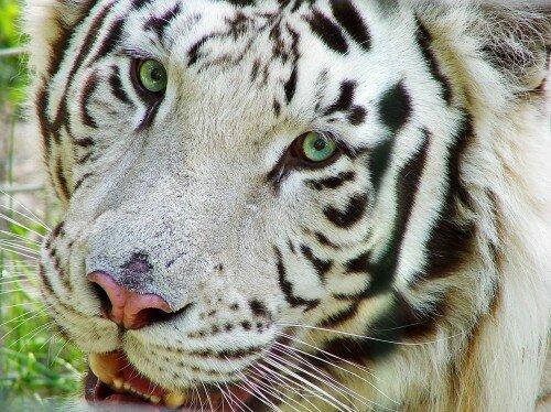 Почему белые тигры должны исчезнуть?