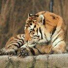 Тигр лежит на камне