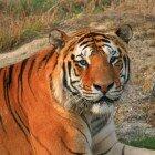Рыжие тигры