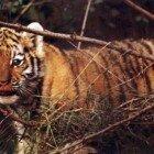Рыжие тигрята