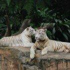 Белые тигры отдыхают