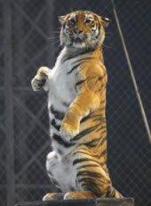 Стриптиз с тигром