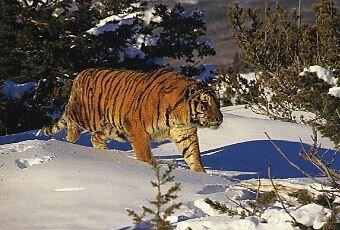 Тигры. Фоторепортаж.