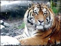 Дальневосточным тиграм вымирание не грозит