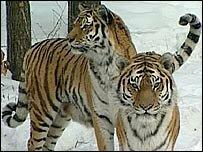 Два тигра живут на одну зарплату ученого