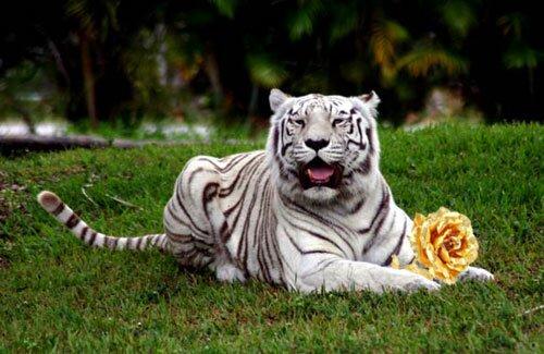 Сказка о Белом Тигре