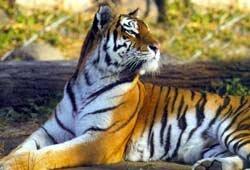 У Тигры родились тигрята