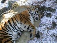 Тигрица вышла к людям