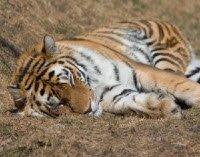Флэш-пазл - Спящий тигр