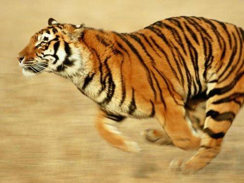 Тигр - могучее совершенство