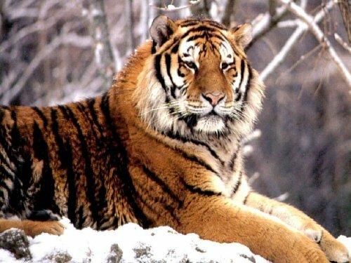 Тигр. Большой энциклопедический словарь.