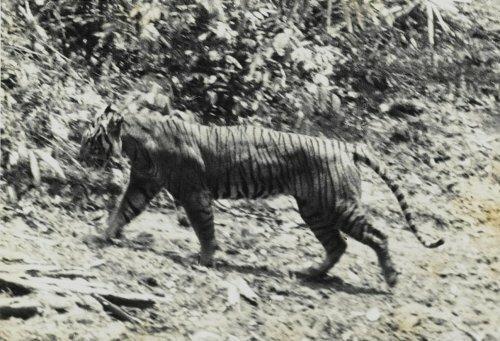 Яванский тигр