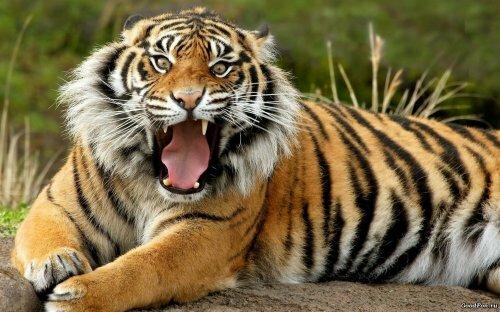 Повелитель Тигр