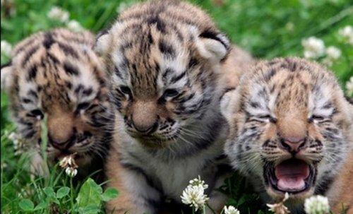 """В ялтинском зоопарке """"Сказка"""" родились трое тигрят"""