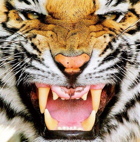 Тигриные звуки