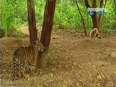 Обезьяна атакует тигрят