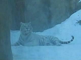 Вышел тигр погулять...