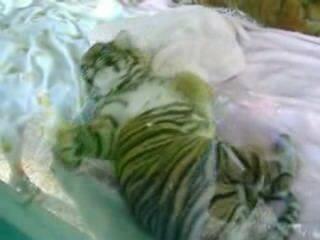 Суматранский тигрёнок хочет спать...