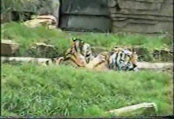 Папа-тигр купает тигрёнка