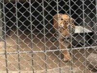 Амурская тигрица Тайга из пензенского зоопарка переехала жить в Беларусь