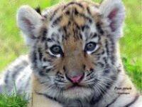 В «Роевом ручье» показали самых редких в мире тигрят