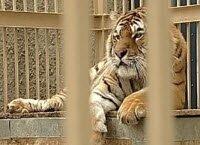Екатеринбурженка отвоевала право на амурского тигра (видео)