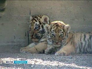 Полуторамесячные амурские тигрята впервые вышли в вольер (видео)