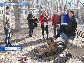Американские ветеринары помогут тигренку Жорику (видео)