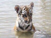 Искалеченного тигренка лечат плаваньем и… кошками (2 видео)