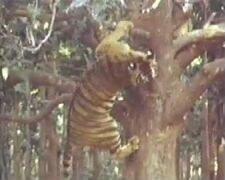 Тигр залезает на дерево