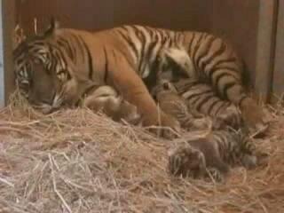 Тигрица кормит тигрят