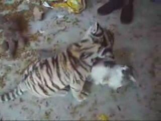 Тигрёнок играет с кошкой