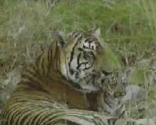 Тигрица вылизывает тигрёнка
