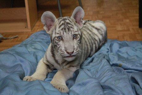 Бенгальского тигрёнка, от которого отказалась мать, выходили сотрудники Екатеринбургского зоопарка (видео)