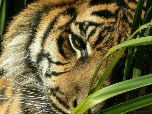 Вышел тигр погулять