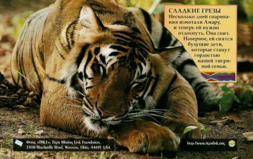Познакомимся поближе с семейством тигров