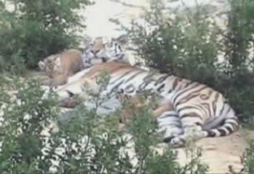 Тигрица-мать